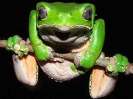 Makes you swell like a frog. Kambo frog.